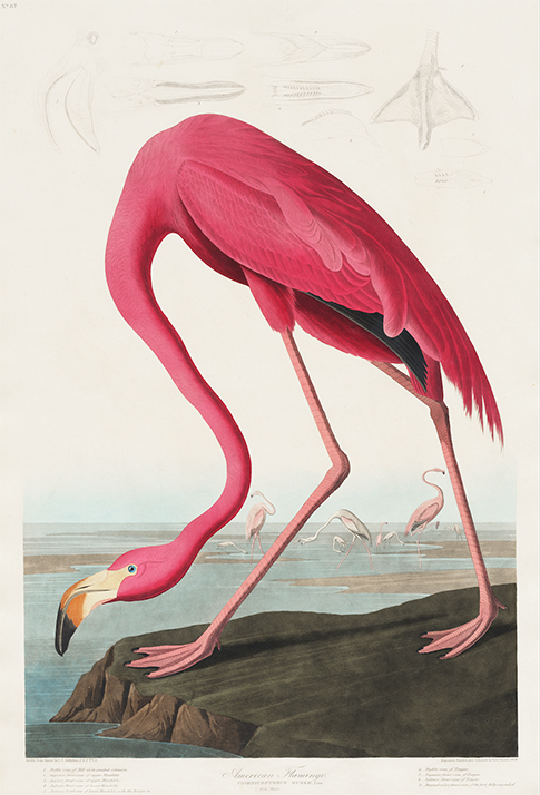 John James Audubon Flamingo poste