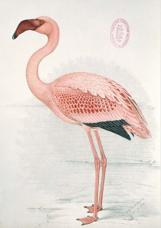 John James Audubon Flamingo poster
