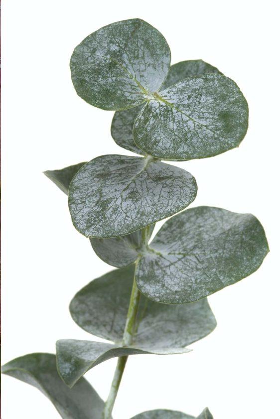 eucalyptus-poster-onlineposterkopen